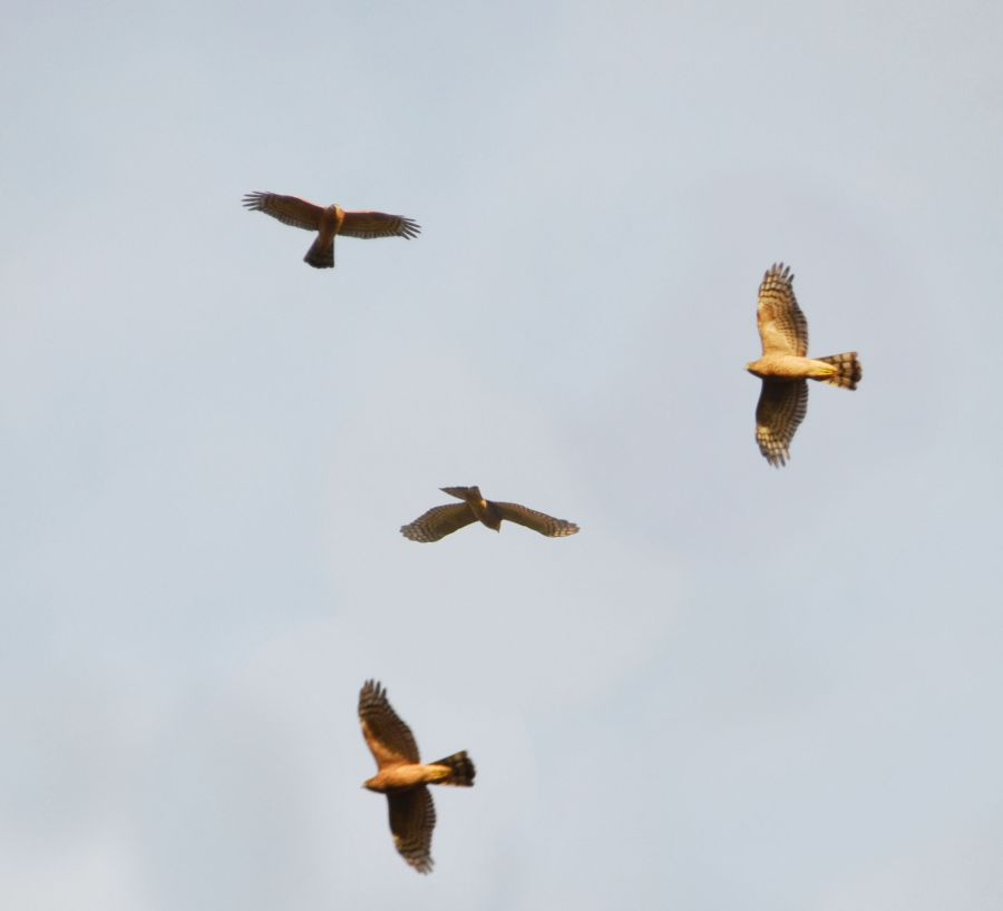 Composite of several views of a kestrel