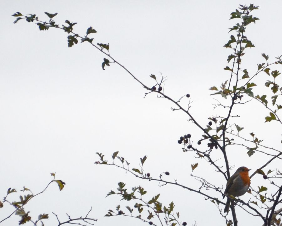 Robins are shouting heir territorial claims.