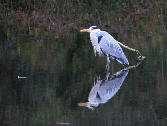 Heron on Rhodesia quarry pond