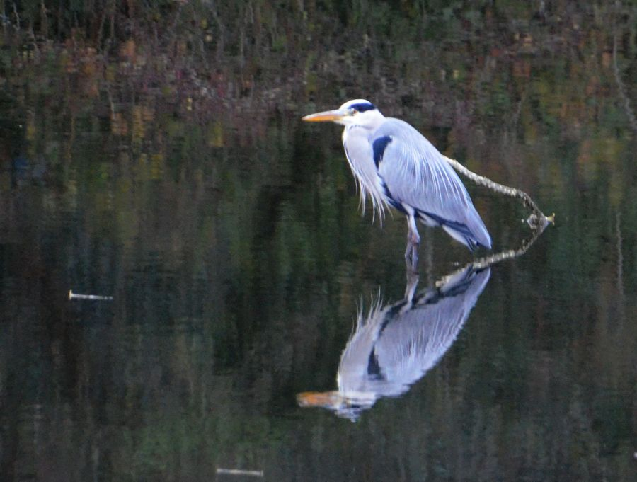 Heron on Rhodesia quarry pond