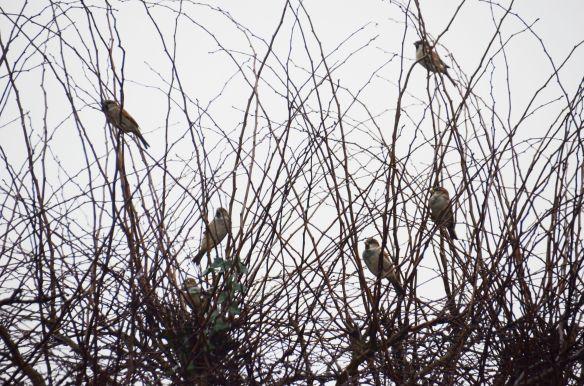 Sparrers in a sparrer bush