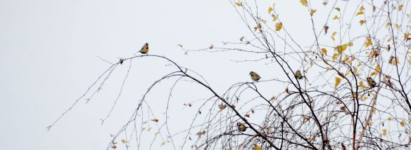 Flock of goldfinches.