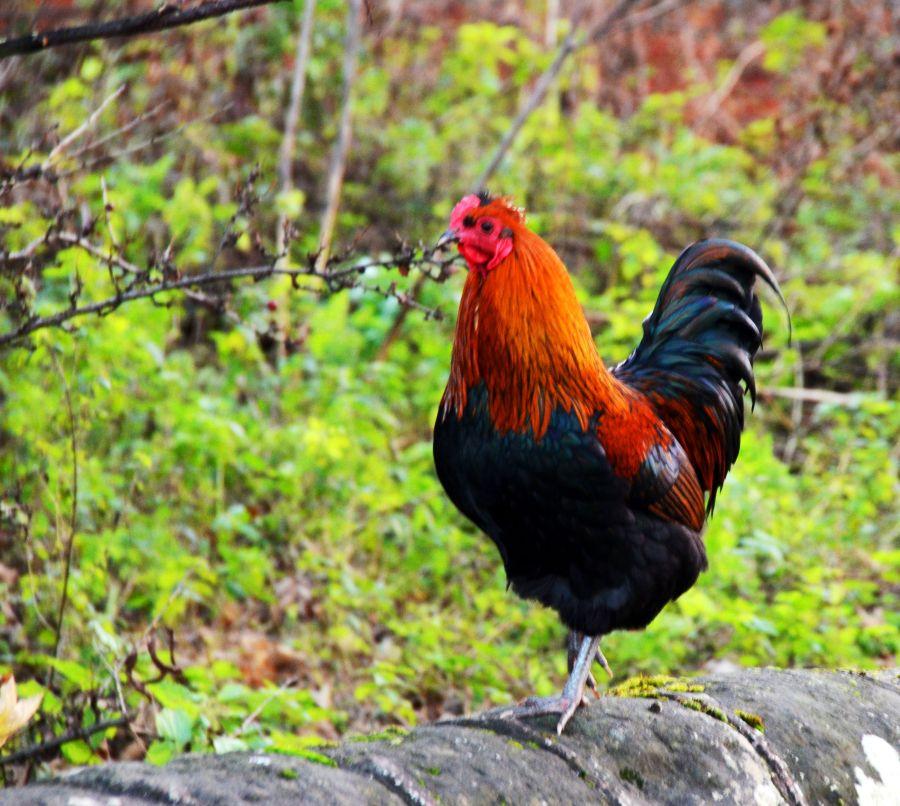 Cockerel at Bracebridge