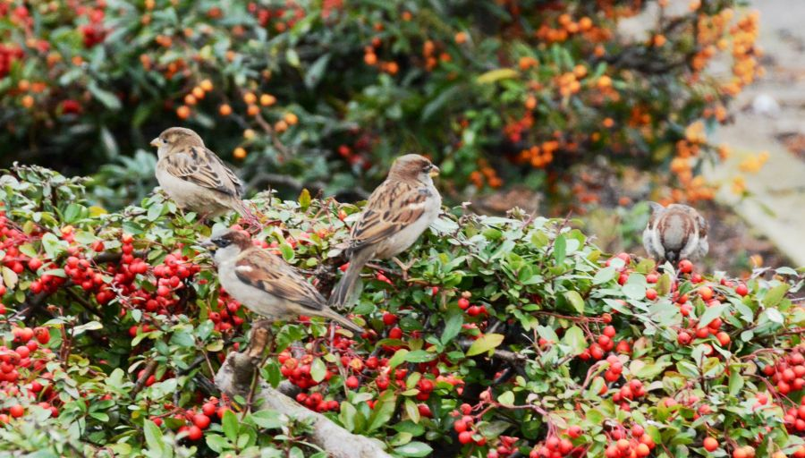 Our local answer to Meadowhall has these bushes on the carpark - full of sparrows all year round