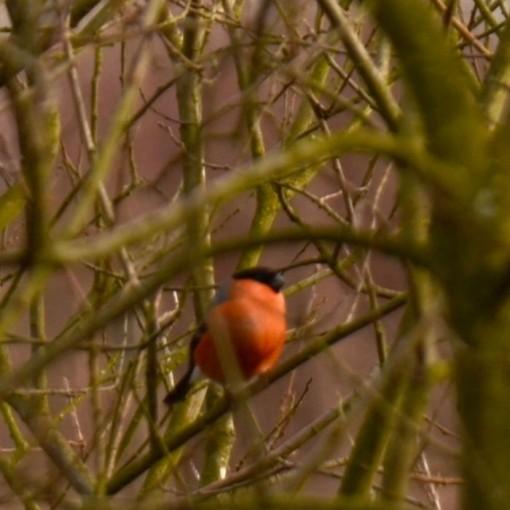 15 02 02 044Bullfinch hiding