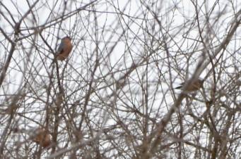 15 02 28 045Bullfinches