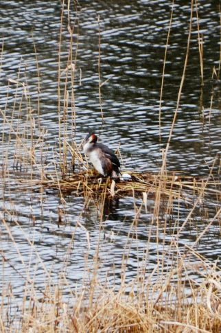 Grebe on the nest