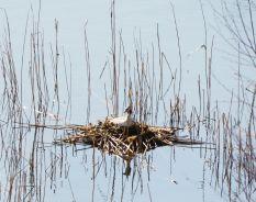 Grebe nest
