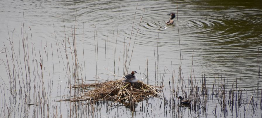 Grebes at the nest