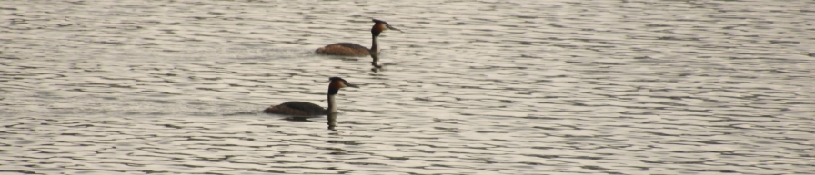 Grebes passing