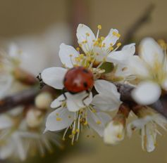 Ladybird on blackthorn