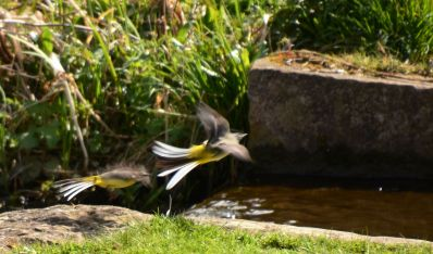 Greay wagtails