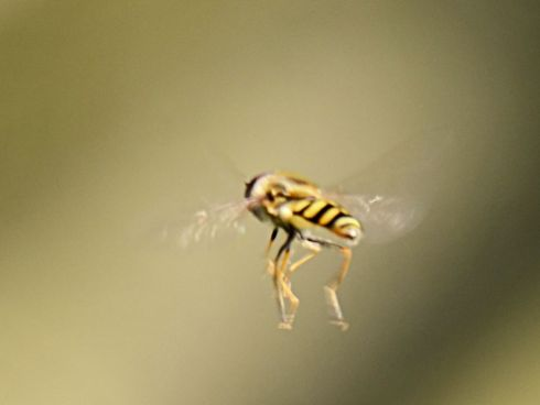 15 04 21 0054Ever tried to snap a hoverfly