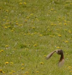 Thrush over the rugby field