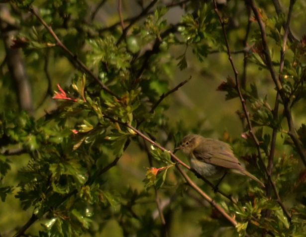 Warbler or chiffchaff
