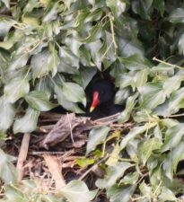 Moorhen on the nest