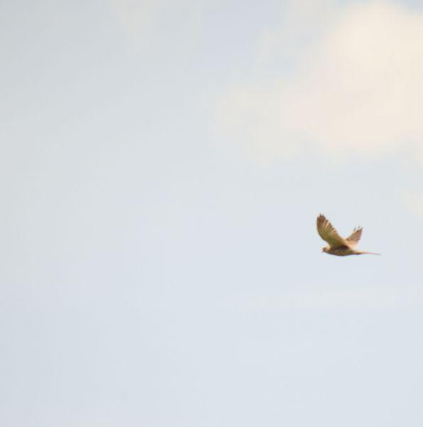 Kestrel over the pond