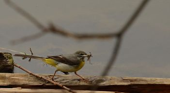 Pied wagtail with food