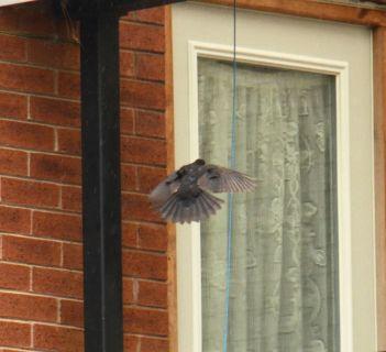 Blackbird over the flats