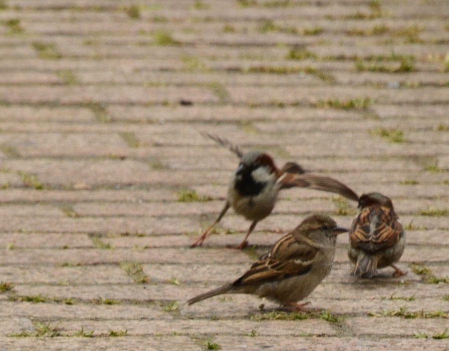 Sparrow dancing