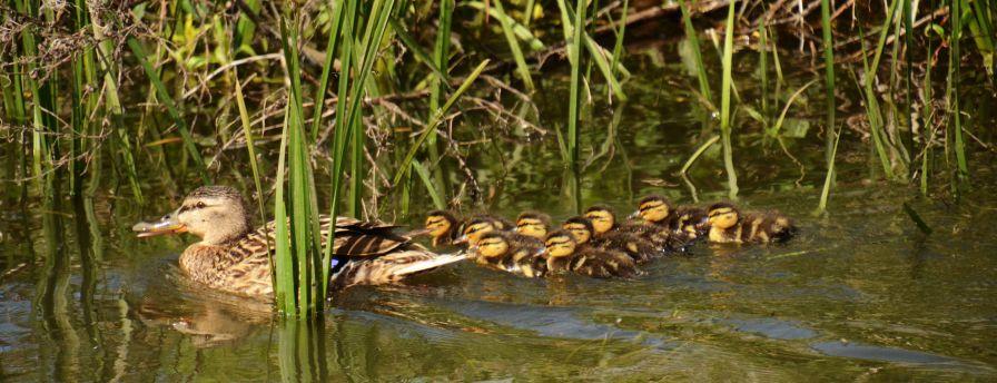Duck - lings