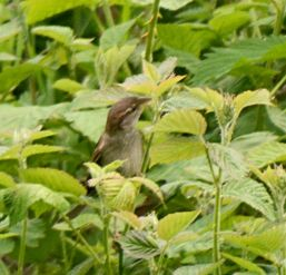 Sparrow in bramble