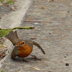 Beakful robin