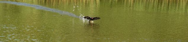 Moorhen departing at speed