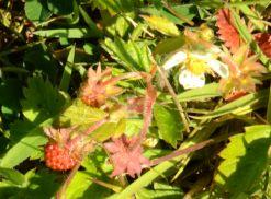 Tiny (5mm) strawberries