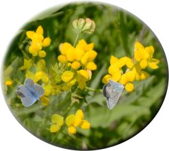 Composite of common blue on bird's foot trefoil