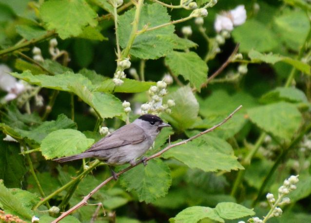 Black cap - first I've knowingly seen