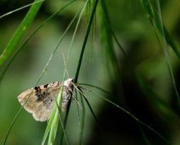 Moth (shaded broad bar?)