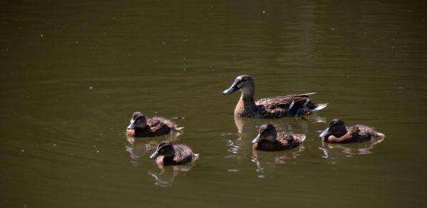 The family Mallard