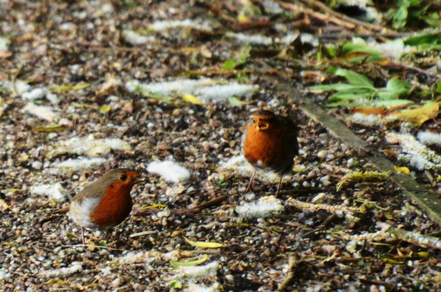 Towpath robins