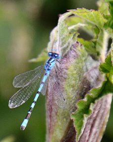 Common blue damsel