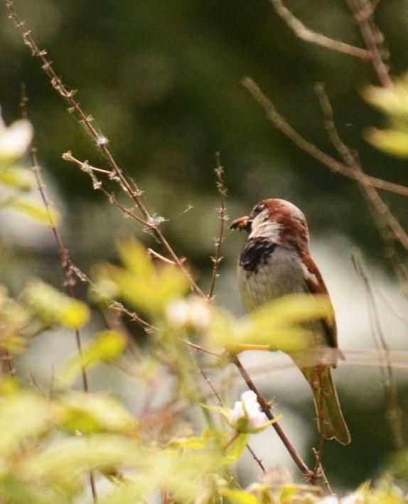 Sparrow with a beakful