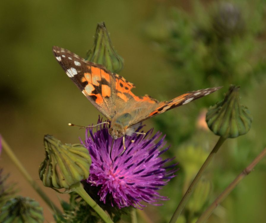 ... on thistle