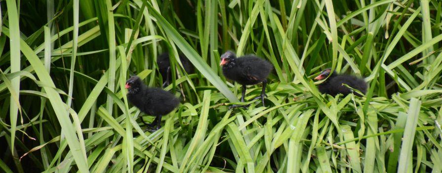 Moorhen chicks.