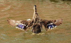 Duck in a flap