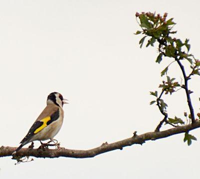 high goldfinch