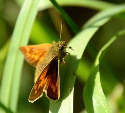 Female small skipper