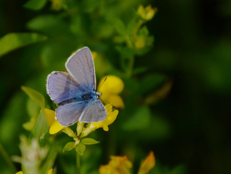 Common blue on bird's foot trefoil