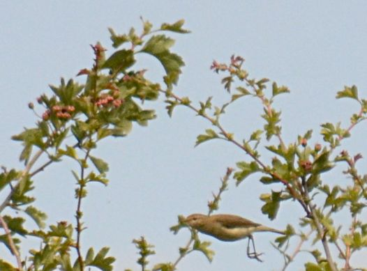 Chiffchaff doin' the buggerin' off