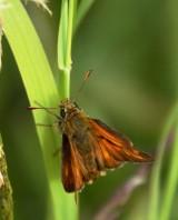 Male small skipper