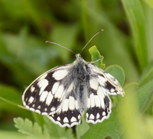 Marbled white stlll to inflate fully
