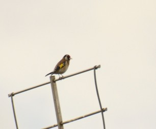 Aerial with goldfinch