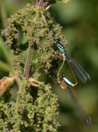 Blue tailed damsels 'at it'