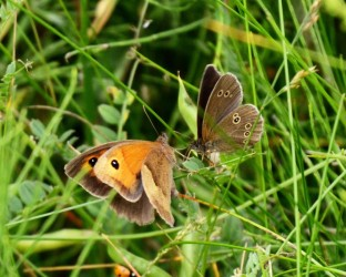 Meadow brown & ringlet