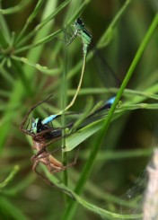 Spider and damselflies