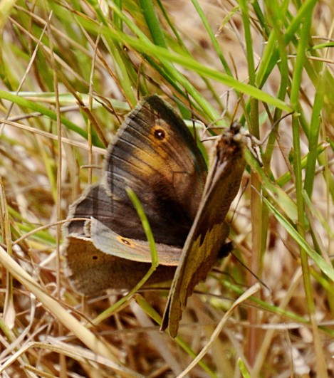 Meadow browns courting